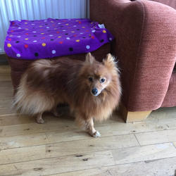 Found dog on 23 Jan 2017 in Rathfarnham. Pomeranian mix, male dog lovely temperament, found near Boden Heath estate, Rathfarnham today at lunchtime. Microchipped but no details registered. Is currently in the DSPCA