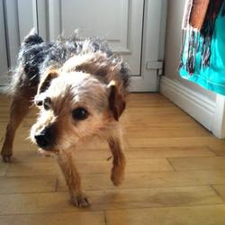 Found dog on 23 Jul 2012 in Sallynoggin. Small Black/Brown/Grey terrier type found in Sallynoggin
