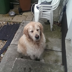 Found dog on 23 Jul 2016 in Malahide. Found this morning in Mahalide. 0867365652