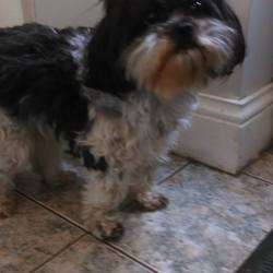 Found dog on 23 Jun 2017 in WESTSIDE, GALWAY. FOUND BLACK AND WHITE KING CHARLES? SHIH TZU? BY WESTSIDE MAIN ROAD IN GALWAY PLEASE RING 0877660724