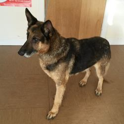 Found dog on 23 Nov 2016 in Avoca. found... female German Shepherd who was found in Avoca area. Contact Wicklow Dog Pound for information on 040444873.