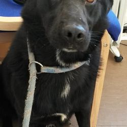Found dog on 23 Nov 2016 in Avoca area. found.. is a male crossbreed who was found in Avoca area. Contact Wicklow Dog Pound for information on 040444873.