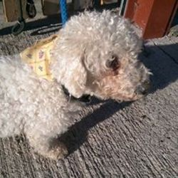 Found dog on 23 Nov 2016 in BlackCastle Estate Navan. found...Lady 9yr old Bichon Frise...found BlackCastle Estate Navan..ref 449...microchipped but details out of date. Contact Meath pound on 087 0676766....thanks. Or if anyone locally can foster her please text Kathy on 086 3696413 ..thanks