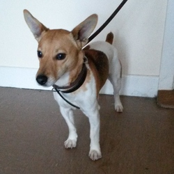 Found dog on 23 Oct 2014 in Wicklow. Found Rathnew, Co Wicklow. Contact Wicklow Dog Pound on 040444873 for information.