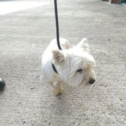Found dog on 23 Oct 2016 in Bohermeen. found, 3yr old Westie...Found on Bog Road, Bohermeen....ref 398..Microchipped but not registered....contact Meath pound on 087 0676766...thanks