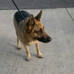 Found dog on 23 Oct 2016 in Tribley Kilmessen. found...approx. 4yrs ...ref 397...Found in Tribley Kilmessen...contact Meath pound on 087 0676766...thanks.