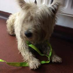 Found dog on 23 Sep 2017 in Whitehall Dublin 9. found...Update- in Ashton dog pound since Tuesday  Urgent Found- this little guy was found near Whitehall Dublin 9. Looks like he had been straying for a while he was hit by a car but checked over by vet and fine, he is microchipped but it's not registered , very very stressed as we recon he's been straying a while now