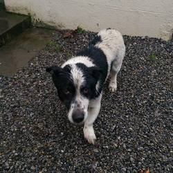 Found dog on 24 Dec 2014 in kinnegad. found , between kinnegad and balinabracky.He is neutered and looks like a terrier/collie , contact mullingar dog shelter.