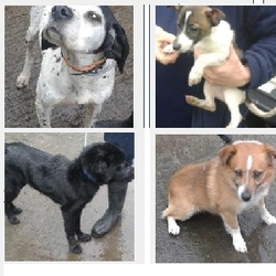 Found dog on 24 Feb 2015 in dublin. found dogs...baldonnel, tallaght, lucan, now in the dublin dog pound