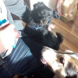 Found dog on 24 Jan 2015 in arc bar/liffey vallee roundabout clondalkin. Owner found and dog is back home!!!! Small black cross, looks like a collie in miniature, very well behaved, surely missed somewhere