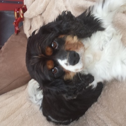 Found dog on 24 Jul 2014 in pearsons bridge,  bantry, co. cork. Female cavalier king charles tricolour found in pearsons bridge, bantry on Thursday 24th July. Presumed to have run off after thunder and lightning that evening. She's microchipped and registered to a lady in leap co. Cork. No answer on the phone.