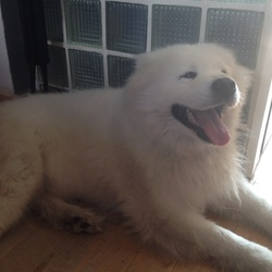 Found dog on 24 Jul 2016 in Dublin 7. Found this lovely friendly Samoyed dog on Oxmantown Road in Stoneybatter on 24 July.
