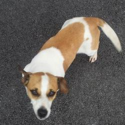 Found dog on 24 May 2012 in Westbury, corbally, Limerick. Jack Russell, male
