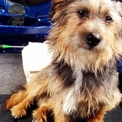 Found dog on 24 May 2014 in Portmarnock. Male terrier mix found on Portmarnock backroads.