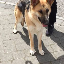 Found dog on 24 May 2017 in trim. found.... dog warden has collected her and will be in the care of the Meath pound