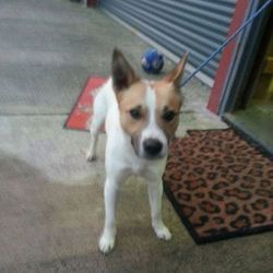 Found dog on 24 Nov 2014 in laytown. FOUND 529 Terrier X.10mts old...found in Laytown Co Meath...contact Meath Pound...
