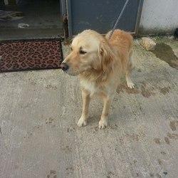 Found dog on 24 Nov 2014 in navan. found 4yrs old approx...Golden Retriever...found in Castletown Navan....contact Meath pound..