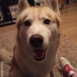 Found dog on 24 Nov 2014 in newgrange. found male husky newgrange, co meath..http://www.lostandfoundpets.ie/4givk5