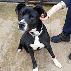 Found dog on 24 Oct 2017 in Beaufort Place Navan . found...9 month old Lab X Boxer.ref 302..found Beaufort Place Navan ..contact Meath pound on 087 0676766...thanks