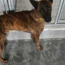 Found dog on 24 Oct 2017 in Colvinstown Tara County Meath. found...Dutch Shepherd ref 301..found Colvinstown Tara County Meath...please contact Meath pound on 087 0676766..thanks