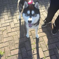 Found dog on 25 Apr 2017 in Dublin 14/16. Male Husky
