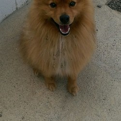Found dog on 25 Aug 2016 in Bellwestown Drogheda. found..2yr old Pom...ref 319....found in Bellwestown Drogheda. .wearing collar & lead....contact Meath pound on 087 0676766...thanks..