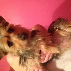Found dog on 25 Dec 0013 in Dublin8. Yorkie found Dublin 8 area on Christmas Day seems like a mix of a yorkie please get in contact if you know this dog