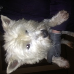 Found dog on 25 Dec 2013 in Leixlip . White male West Highland Terrier. Wearing a blue collar..