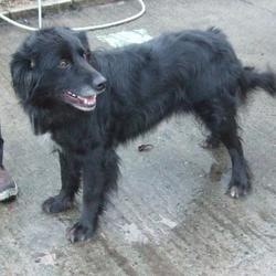 Found dog on 25 Dec 2015 in Marlefield , Tallaght. found, now in the dublin dog pound.. Date Found: