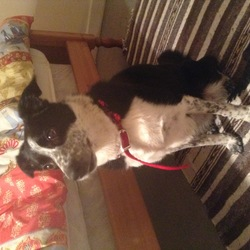 Found dog on 25 Dec 2015 in Skerries. Fingal dublin. Female Sheep dog mix, responds to sit and stay comands found on 25 of december on Quay street, skerries, Dublin.