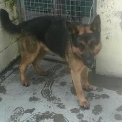 Found dog on 25 Jul 2016 in Boherboy , Saggart. found, now in the dublin dog pound... Date Found: Sunday, July 24, 2016 Location Found: Boherboy , Saggart