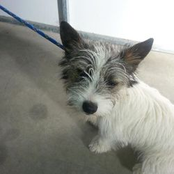 Found dog on 25 Mar 2014 in bettystown. mt old Terrier X puppy ref 180...found in Bettystown...if you can help this little baby contact Meath pound on 087 0676766