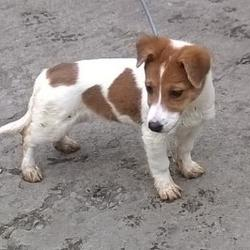 Found dog on 25 Mar 2015 in Alpine Rise , Tallaght. found jrt pup, now in the dublin dog pound.. Date Found: Monday, March 23, 2015 Location Found: Alpine Rise , Tallaght
