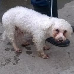 Found dog on 25 Mar 2015 in  Bawnlea Rise , Tallaght. found white poodle, now in the dublin dog pound.. Date Found: Monday, March 23, 2015 Location Found: Bawnlea Rise , Tallaght
