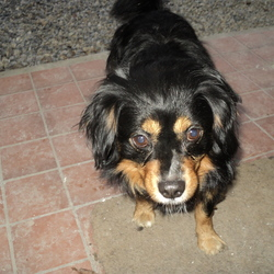 Found dog on 25 Mar 2015 in Churchtown Dublin. Black and Tan King Charles Cross small dog, approx 5 years old found in Churchtown area. Has been at house now for 3 days and wont leave, as my dog is on heat...!Ph 087 6516108