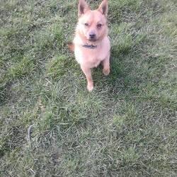 Found dog on 25 Mar 2015 in kells. found Pom x ..2yrs approx...ref 139...found in Kells, contact meath pound
