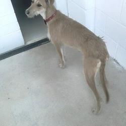 Found dog on 25 Mar 2015 in navan. found 2yr old Lurcher ref 142....found in Shambo Navan...contact Meath pound.