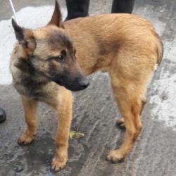 Found dog on 25 Mar 2017 in Village , Clondalkin. found, now in the dublin dog pound... Date Found: Thursday, March 23, 2017 Location Found: Village , Clondalkin