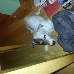 Found dog on 25 Nov 2012 in dublin 15. I have found this jack russell in huntstown area in dublin 15, somebody knocked him down he is in the vets now, please contact me on 0862024426