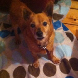 Found dog on 25 Nov 2013 in Dublin area . cross terrier, unstable back legs , short hair , about 6-10 years old , very skinny found dublin area last night  brown worn studded collar