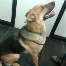 Found dog on 25 Nov 2013 in Roscommon. Alsatian  Male found Roscommon Area but may have been stolen from any part of the country. contact 0831484411