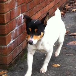 Found dog on 25 Nov 2014 in MULLINGAR. FOUND JRT...found straying in Prospect will be staying in the care of Friends of Animals Mullingar