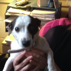 Found dog on 25 Nov 2014 in Near DCU . A female jack Russell (possibly mixed breed) found on DCU campus this morning. Pink collar with no tag.
