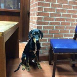 Found dog on 25 Nov 2015 in Deer Park area in Ashbourne. found..THIS BOY IS NOW IN MEATH POUND....REF 502 ...Spencer 10mt old neutered Doberman x found in the Deer Park area in Ashbourne..