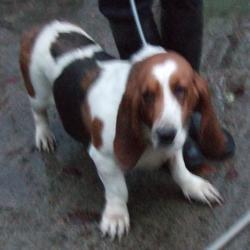 Found dog on 25 Nov 2015 in MacUilliam Gardens , Tallaght. found, now in the dublin dog pound.. Date Found: Monday, November 23, 2015 Location Found: MacUilliam Gardens , Tallaght