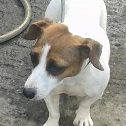 Found dog on 25 Sep 2014 in clondalkin. found jrt now in dublin dog pound.. Date Found: Wednesday, September 24, 2014 Location Found: Village , Clondalkin