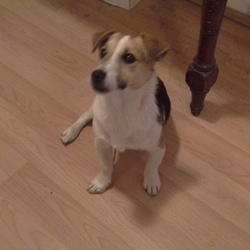 Found dog on 25 Sep 2014 in Rathbourne Village Dublin 15. Male Jack Russell found along the banks of the Royal canal near Rathbourne Village .We think he is around 1- 2 years old. Timid with a very friendly nature. Now in the  great care of DogsAid.
