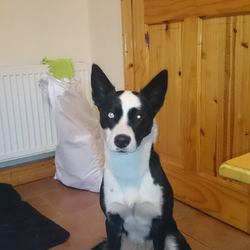Found dog on 26 Dec 2014 in offaly. found,... THE CAPPINCUR COLLIE/HUSKY CROSS HAS BEEN CAPTURED  Finally after two long weeks & many failed attempts to catch this poor dog she is now finally in the care of the Offaly SPCA.