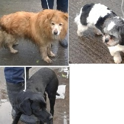 Found dog on 26 Feb 2015 in tallaght, clondalkin. found dogs tallaght and clondalkin, now in the dublin dog pound...