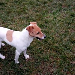 Found dog on 26 Feb 2018 in rathoath village. found...Ref 49, male jrt cross found in rathoath village, please share to help find owners, contact 0870973911 with any information